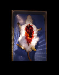 Autopsy rat with beating heart for 'House M.D'
