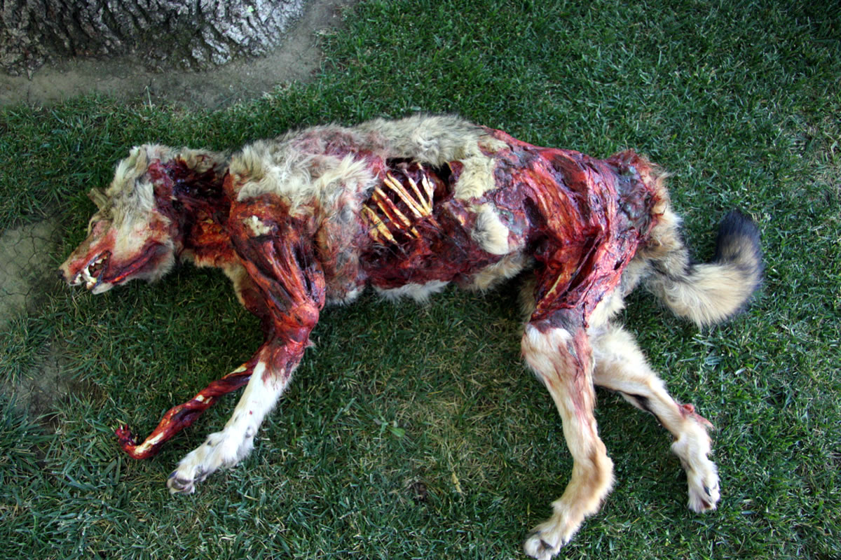 Dead coyote for the film 'Terminator - Salvation'