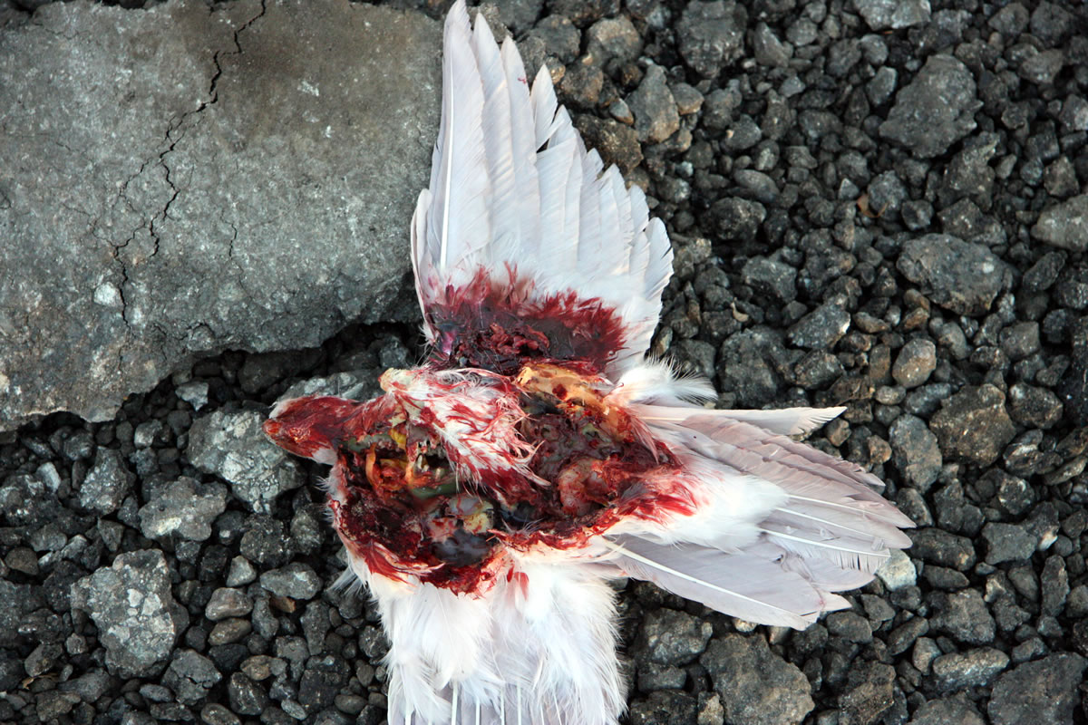 Dead gutted bird